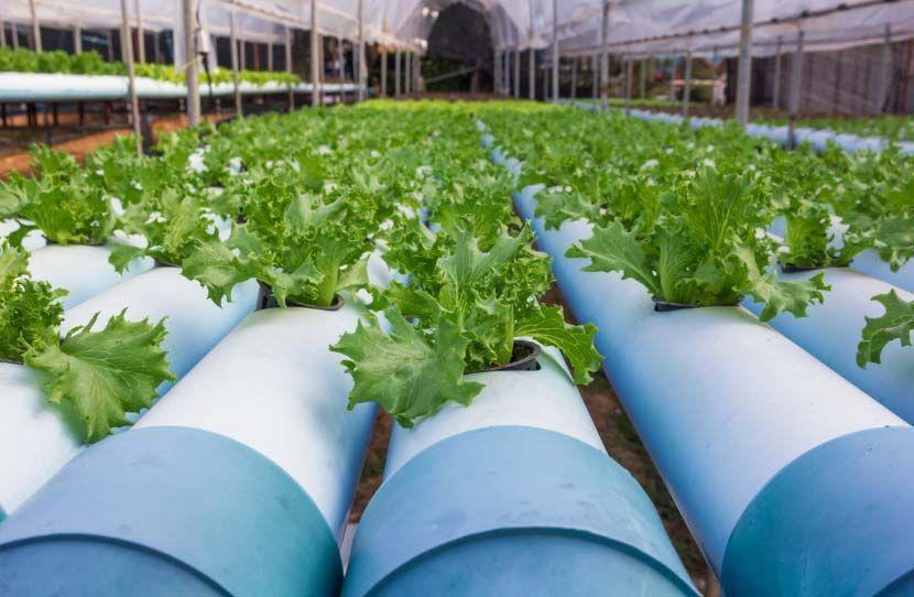 cultivo hidroponico con humus de lombriz