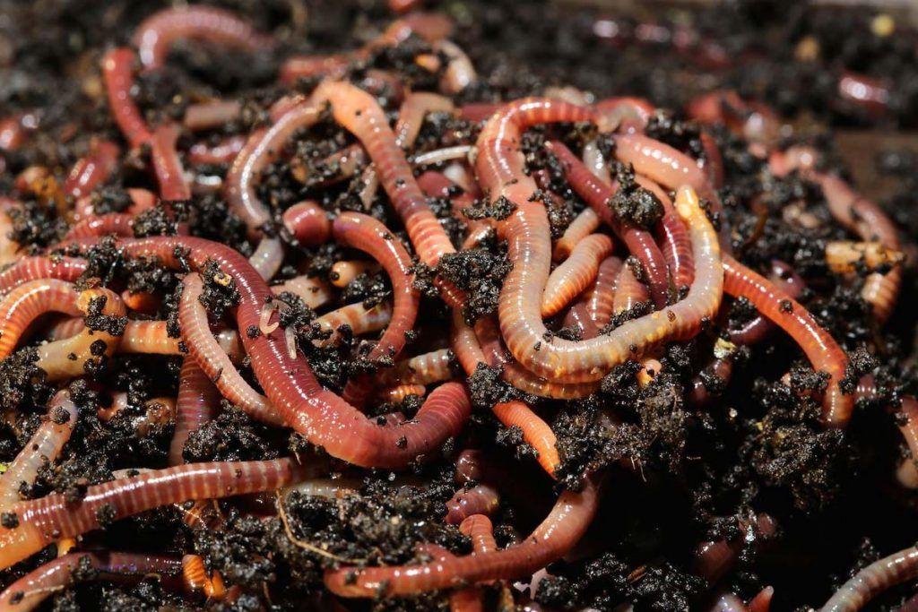 lombrices de tierra para descontaminar el suelo