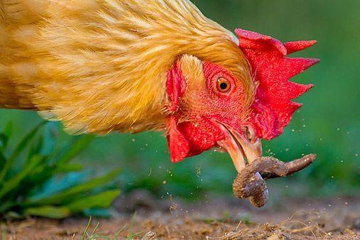 las gallinas se comen a las lombrices
