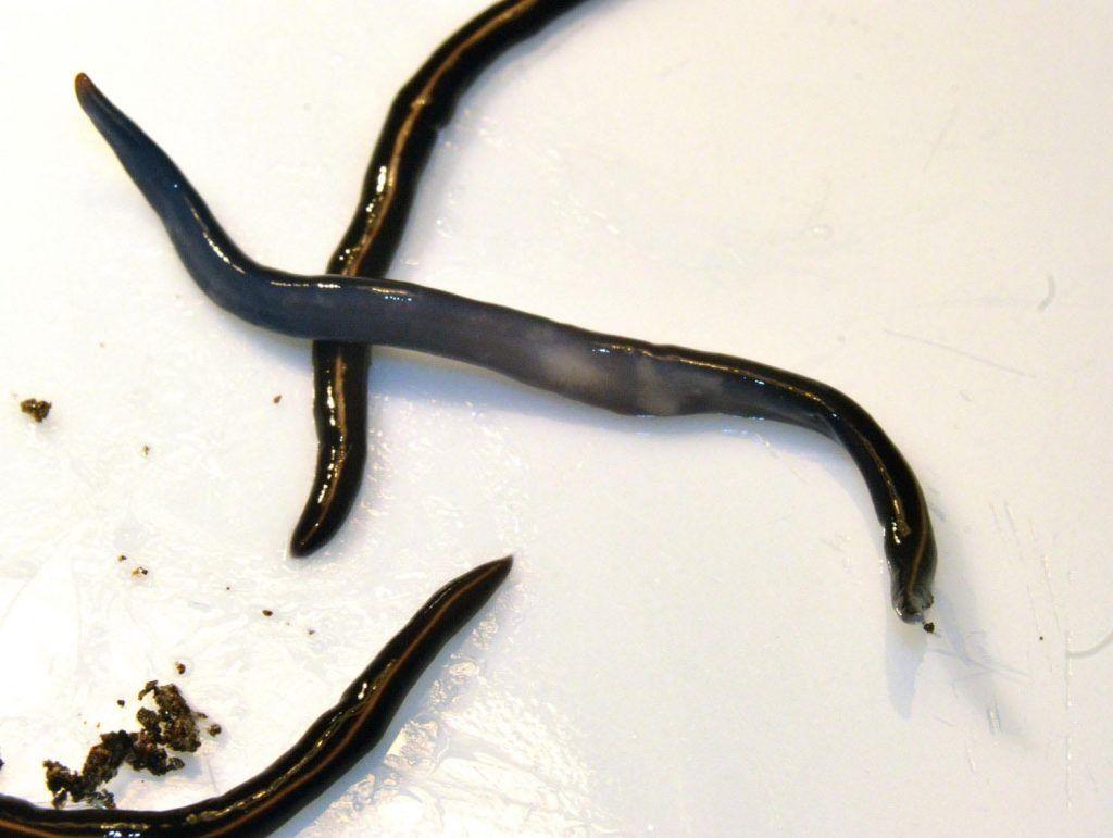 planaria enemiga y depredadora de lombriz roja californiana