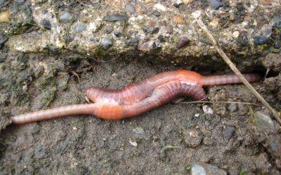 La lombriz de tierra es ovípara, hermafrodita e insuficiente