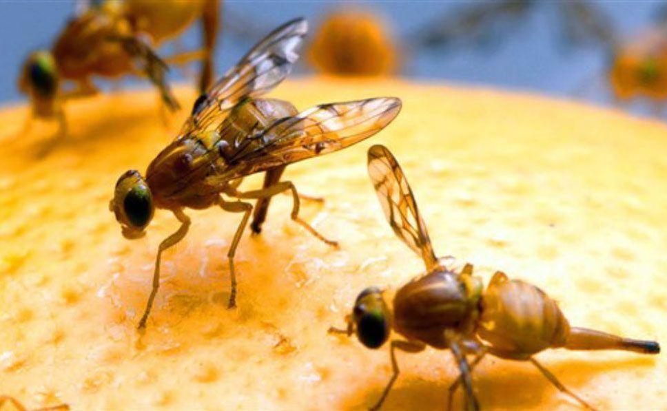 prevenir y eliminar la mosca de la fruta en compostador de lombrices
