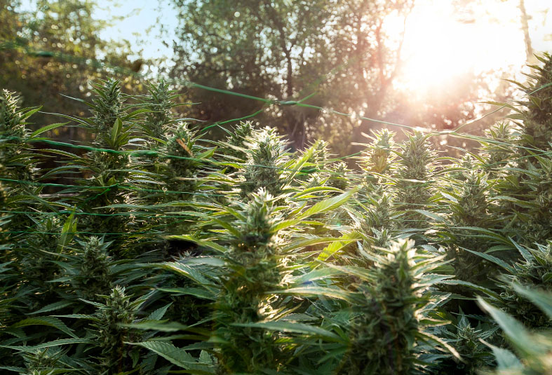 Cultivo de marihuana orgánica con humus de lombriz – [Calidad y producción garantizada]