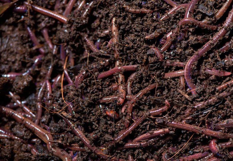 cultivo de marihuana con humus de lombriz roja californiana